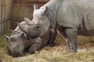 Adult and Young Rhino in Stall with Hay